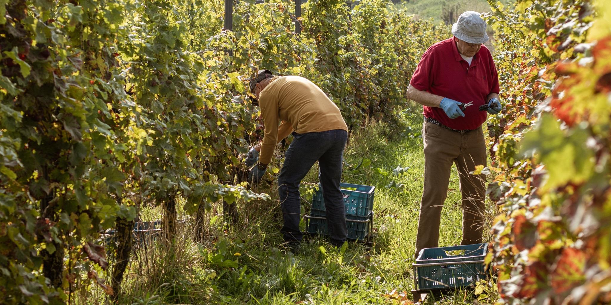 """Oogstdagen in wijngaard De Colonjes : """"Wijnboer voor een dag"""""""
