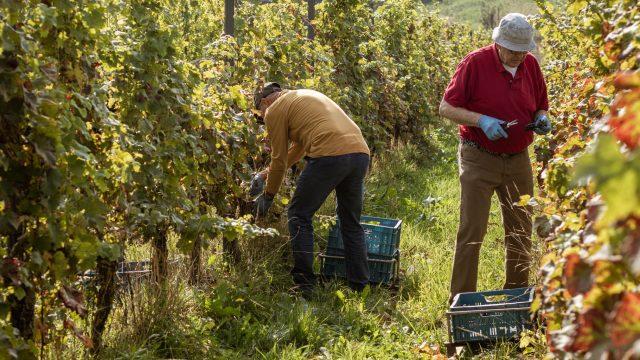 Kom helpen oogsten bij wijngaard De Colonjes!